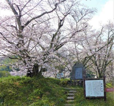 桜巡り !  天理・杣之内町