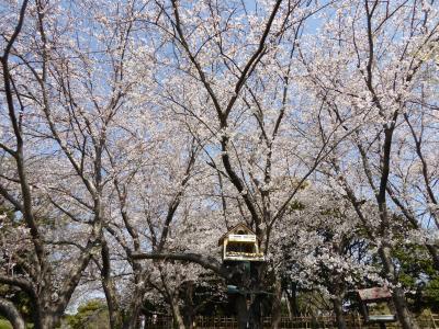 2021年 桜散歩(青葉の森公園:ソメイヨシノ・白妙・花笠・山桜・大島桜・越の彼岸・思川・八重紅大島・一葉)