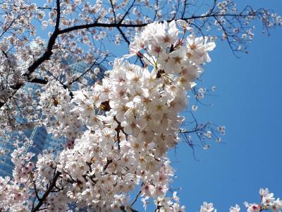 桜満開の六本木ヒルズへ