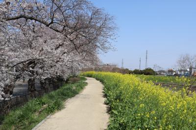 綾瀬川と新栄団地の桜☆2021/03/26