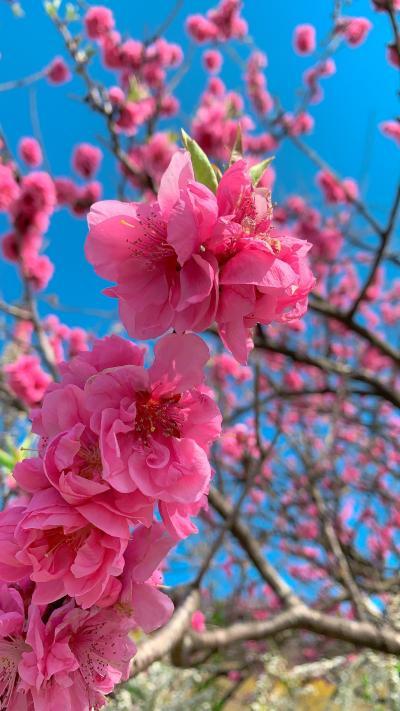 満開()の梅を見に