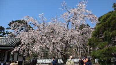 今年の桜は早かった!急転直下の京都花見旅行。