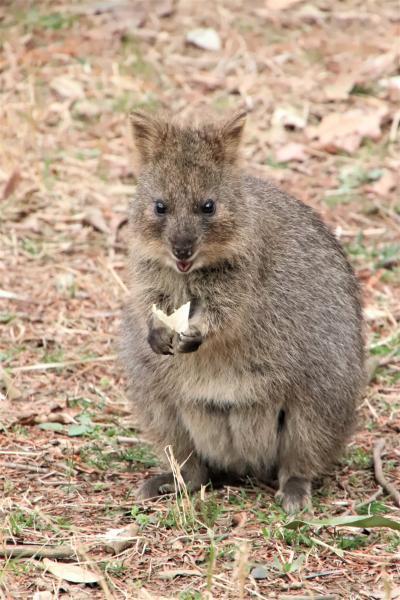 桜開花とこぶし満開の埼玉こども動物自然公園(前)大人しめだけど起きているコアラに会えた&クオッカのピオニちゃん久しぶり~屋外ピリーくん見逃す