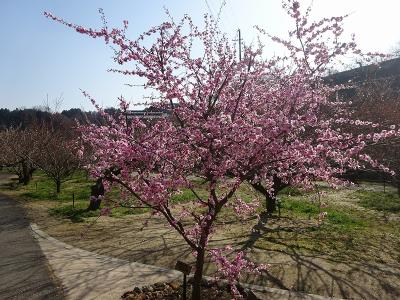 月ヶ瀬梅林(奈良県)~南山城村(京都府)2021.3.23