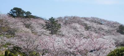 2021年3月 山口県山陽小野田市 竜王山の桜は満開でした。