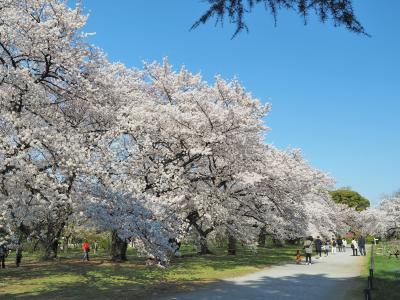 春爛漫! 小石川植物園と播磨坂でお花見