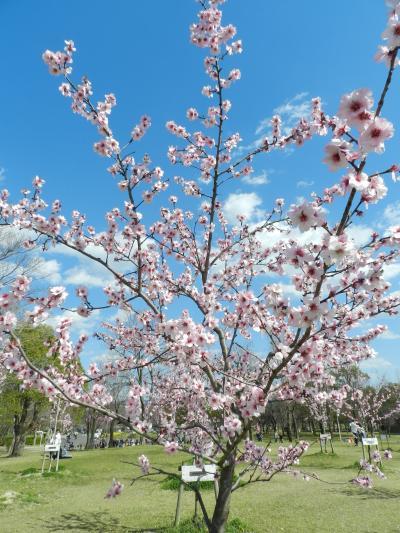 花博記念公園鶴見緑地で色々な花を観賞しました!ヨウコウザクラ・アーモンドの花・チューリップetc