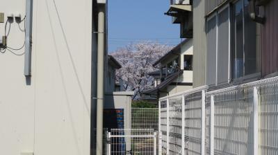 【2020年一目千本桜から三春の滝桜へ】