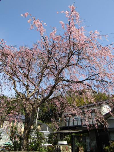 実方家の紅枝垂れ桜は満開です-2021年