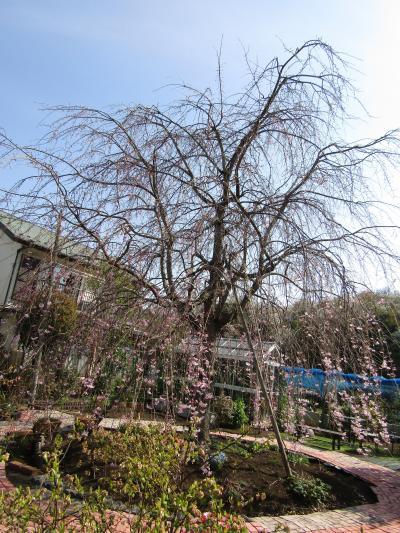 今年見付けた三枚畑の枝垂れ桜が3分咲きです