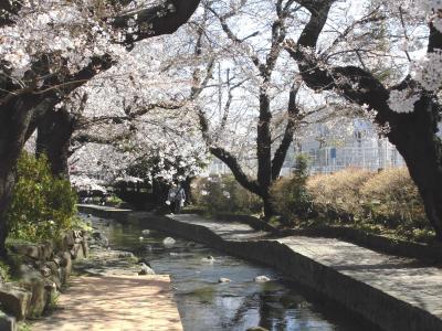 宿河原の桜