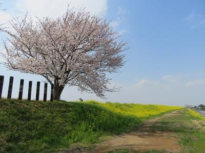 近場の桜と菜の花サイクリング