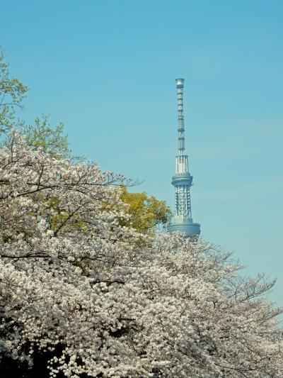 春風に吹かれ満開の桜