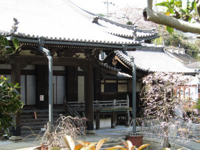 蓮光寺の今の枝垂れ桜-2021年春