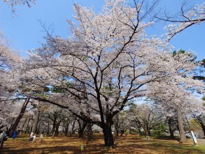 大宮公園で純粋に花見を堪能