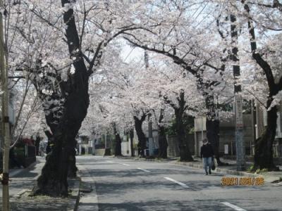 松戸市の常盤平・日本の道百選さくら通り