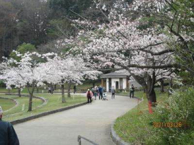 松戸市の21世紀の森と広場・千駄堀池。櫻