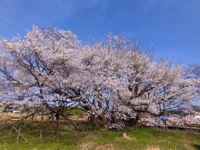 一心行の大桜と高森の千本桜を求めて、南阿蘇へ