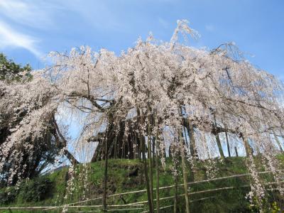 さくら満開の桜♪石畳東のしだれ桜
