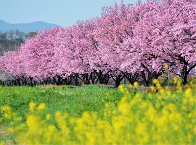 中山道本庄、春の風物詩(お花見の巻)