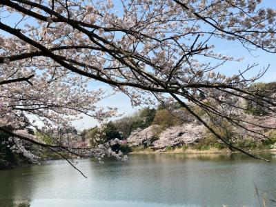 絶好のお花見日和に誘われて「神奈川県立三ツ池公園」へ!