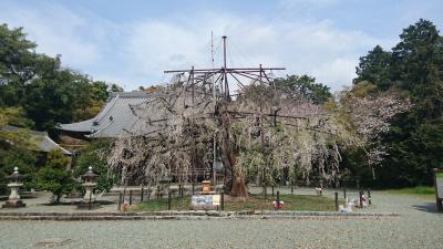 【ちょっとお出掛け】枝垂れ桜を見に行こう。<野依八幡社>