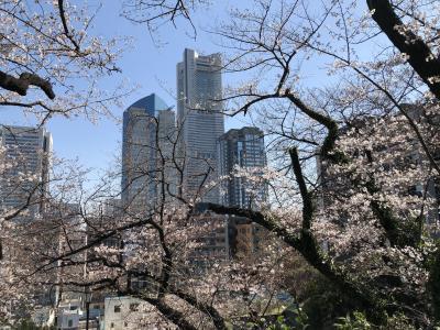 横浜・桜木町のさくら巡り(掃部山公園~大岡川)
