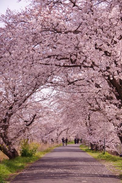 秘密の桜のトンネルはほぼ満開 2021.3.27
