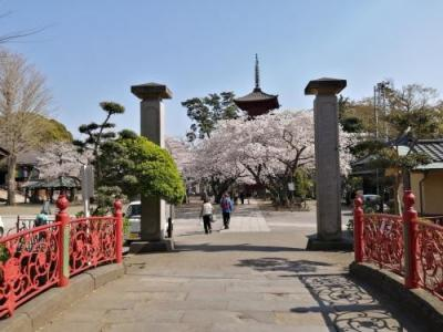 '21 千葉桜さんぽ1 中山法華経寺の満開の桜