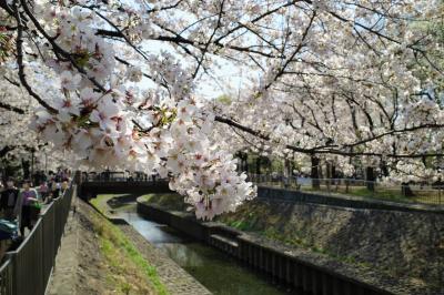 都内のお花見名所 善福寺川緑地の桜