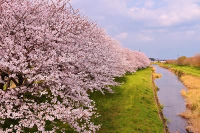 うきは市の流川桜並木