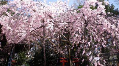 京都 西陣界隈の花見散歩2021