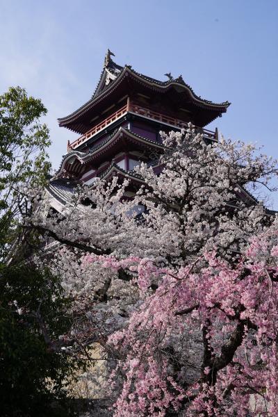20210326-7 京都 伏見桃山城では、桜の背景に天守閣