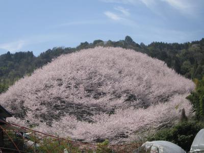 街歩き20・西条の桜と竹細工