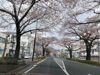 日立平和通り桜並木