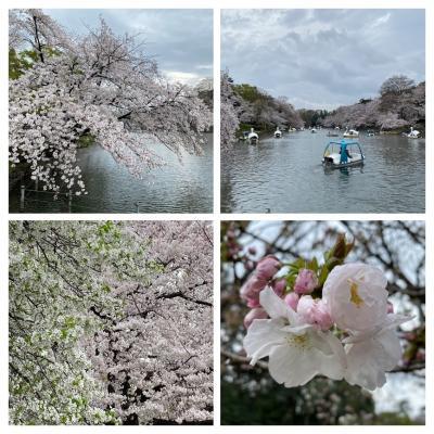 2021 井の頭公園の桜は散り始め