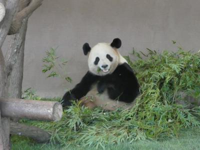 パンダの赤ちゃんに会いに