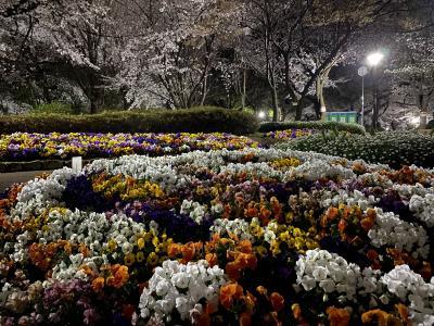 2021年3月 飛鳥山公園で夜桜鑑賞