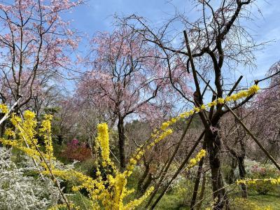 桜満開予想日の京都詰め込み30時間-4 2021年自家用車で行く原谷苑・満開間近哲学の道