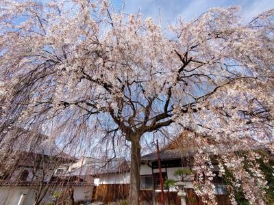 春の「京の冬の旅非公開文化財特別公開」で満開の桜も