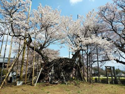 山梨2021桜 【1】神代桜
