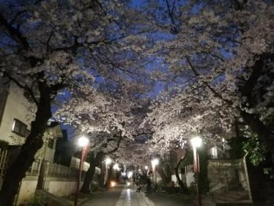 '21 千葉桜さんぽ2 中山法華経寺の桜ライトアップ