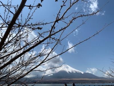 山中湖の桜は、まだ蕾でした