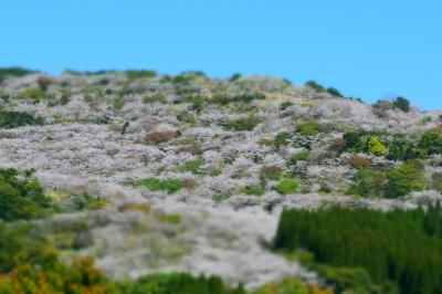 密です! 密です!! 桜が密です!!!  日南市花立公園
