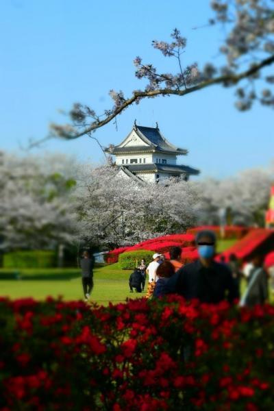 合成ではないかと疑った、つつじと桜のコラボ。天ヶ城公園