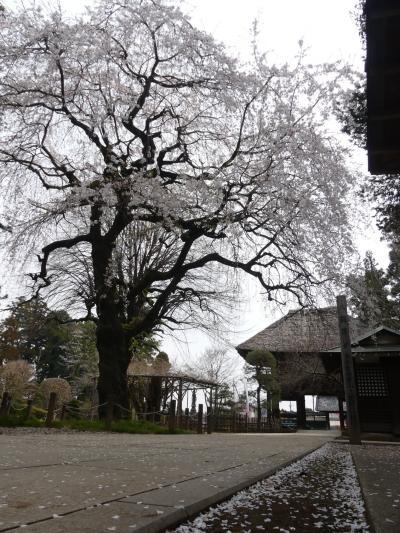 「茂林寺」の枝垂れ桜_2021_見頃終盤、散り始めていました(群馬県・館林市)