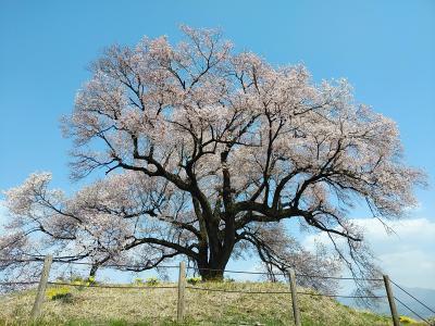 山梨2021桜 【2】わに塚の桜