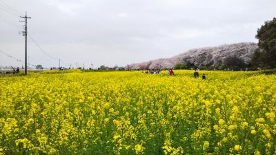 桜と菜の花の権現堂公園+大宮☆