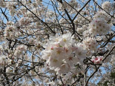 心の安らぎ旅行 (2021年3月 善福寺公園で桜とカワセミ♪)