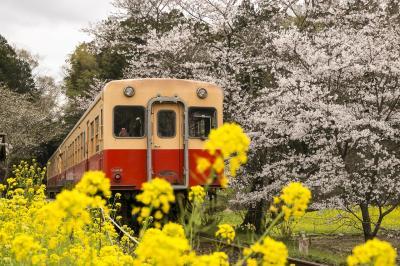 小湊鉄道飯給駅は桜と菜の花が満開